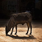 been ban, cow, mother,, rajat ghosh, director of Photography